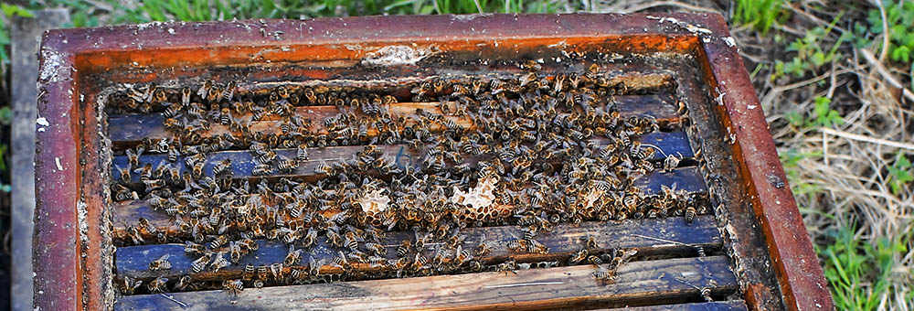 The Bee colony that refused to die 2