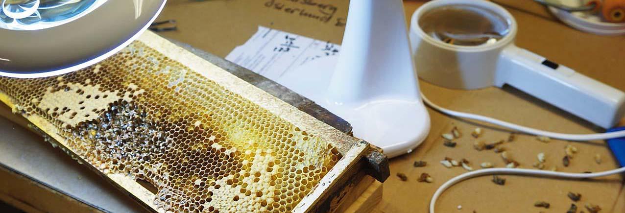 Breeding varroa resistence: Germany versus USA