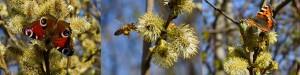 Salix bi fjärilar2