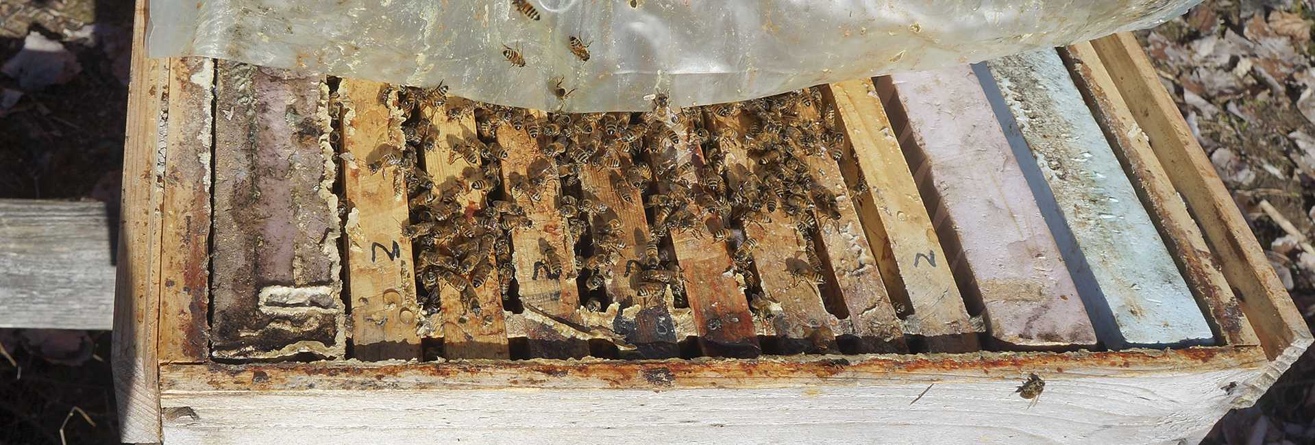 Treatment free feral bees