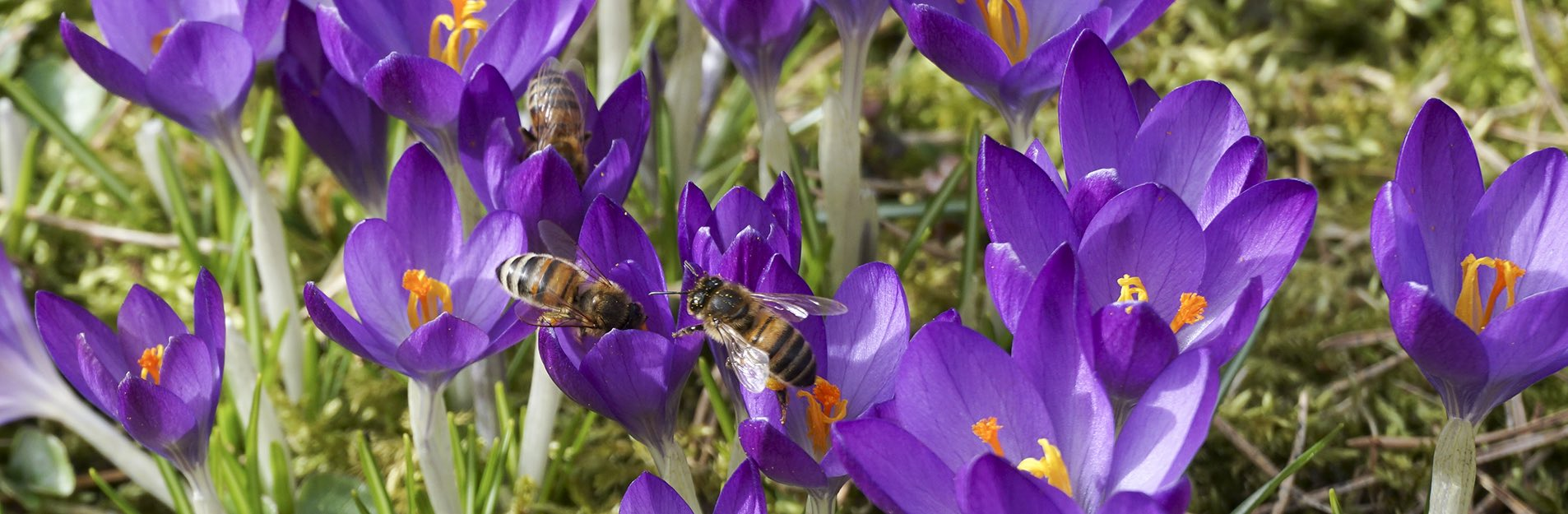 The first bees in spring