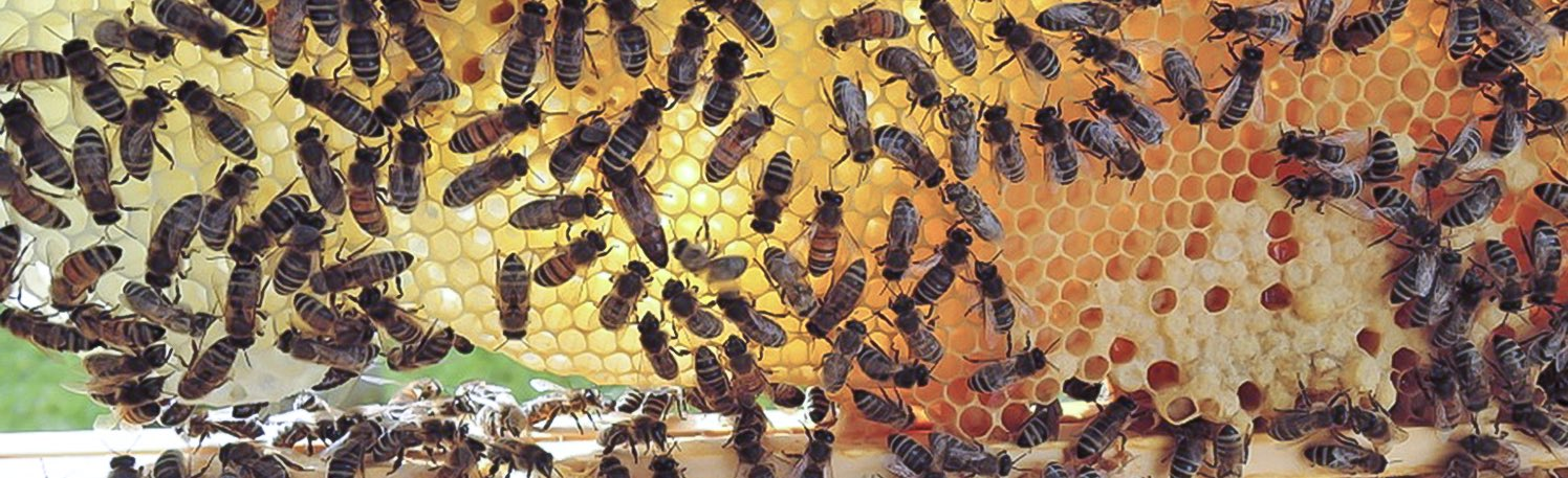 Struggles for the survival of honey bees
